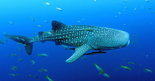 Raja Ampat launches Indonesia's first shark sanctuary